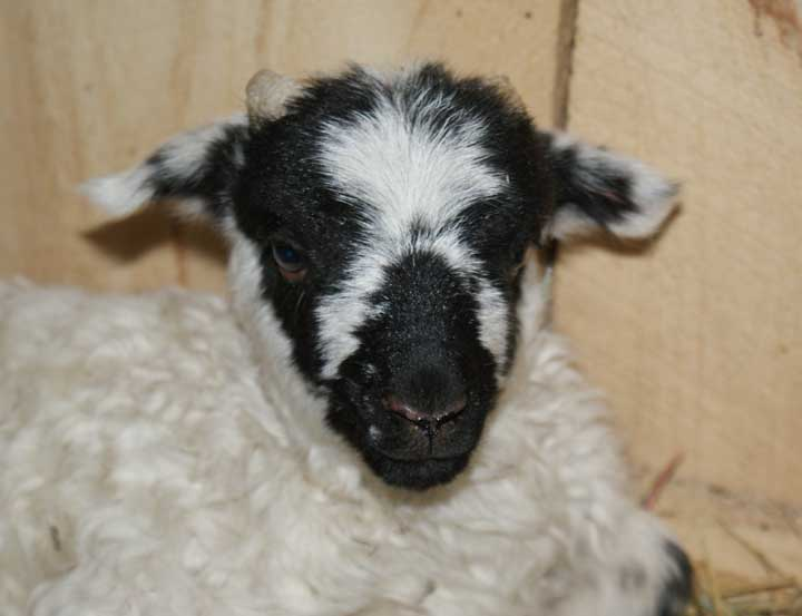 little brook farm 187 scottish blackface ram lamb